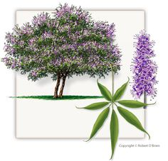 Fannin Vitex Trees are not the same as other trees found at other Dallas area tree farms and are grown local at our North Texas Vitex Tree Farm.