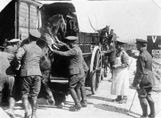 A horse entering a horse-drawn Horse-Ambulance in use at the Railway siding of No.13 Veterinary Hospital, Neufchatel. 4 May 1916.
