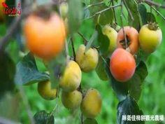 味衛佳柿餅觀光農場(拍攝錄製:李明生)