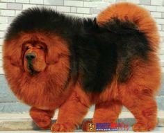 Tibetan Mastiff love it. Must take a long time to brush it.