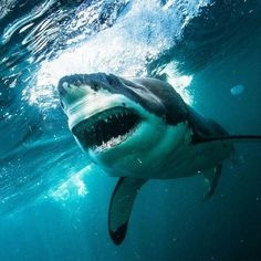 #greatwhite #shark