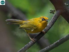 https://www.facebook.com/WonderBirdSpecies/ Golden babbler (Stachyridopsis chrysaea); India, China, and Southeast Asia; IUCN Red List of Threatened Species 3.1 : Least Concern (LC)(Loài ít quan tâm) || Khướu bụi vàng; Ấn Độ, Trung Hoa và Đông Nam Á; HỌ KHƯỚU (Họ Họa mi)-TIMALIIDAE (Old World Babblers).
