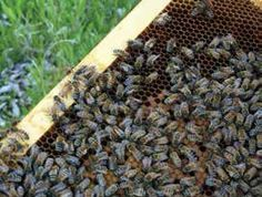 "Learn how to feed and care for your bees in a biodynamic way from winegrower and author Deirdre Heekin. Here she provides her recipe for ""bee tea."""
