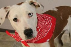 Available for adoption at Greenville County Animal Care in Greenville SC.      Animal ID: 21935855 Breed: Australian Cattle Dog / Mix Age: 1 year 2 months Gender: Male Color: Brown / White Spayed/Neutered: Yes Size: Medium