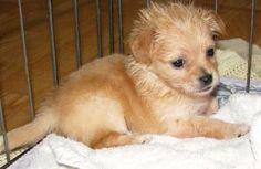 Chihuahua/Maltese Mix - Adoptable Dog - LACEY: Chihuahua, Dog; Marina Del Rey, CA