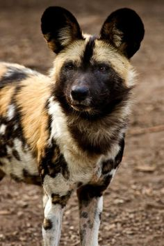 Lycaon pictus is a canid found only in Africa, especially in savannas & lightly wooded areas. It is variously called the African wild dog, African hunting dog, painted wolf, spotted dog ornate wolf. Mundo Animal, Nature Animals, Animals And Pets, Cute Animals, Wild Animals, Beautiful Creatures, Animals Beautiful, Beautiful Things, Dog Cat