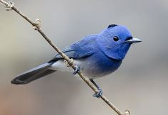 The black-naped monarch or black-naped blue flycatcher (Hypothymis azurea) is a slim and agile passerine birdbelonging to the family of monarch flycatchers.