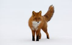 red fox in snow Fantastic Fox, Fabulous Fox, Fox In Snow, Animals And Pets, Cute Animals, Wild Animals, Animal Symbolism, Power Animal, Lovely Creatures
