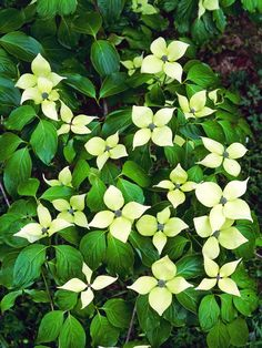 The flowerheads of the China Girl dogwood are large white bracts and profusely bloom in late spring and early summer. Fall brings deep red-purple leaf color and striking raspberry-like fruit. Ericaceous Plants, Shade Plants, Cool Plants, Garden Plants, Outdoor Plants, Outdoor Spaces, Outdoor Living, Deciduous Trees, Trees And Shrubs
