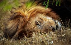 Power napping lion by Vishwa Kiran on 500px