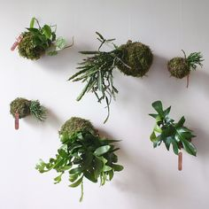 "Kokedama ""string gardens"" large and small."