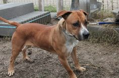 Cora, un amstaff con carattere / Cora, an Amstaff with character