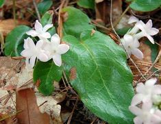 How to Grow the Woodland Plants Ground Laurel, Mayflower, Trailing Arbutus, and other members of the Epigaea Plant (mayflower) genus. Growing Epigaea Plants in Your Garden. May Flowers, Wild Flowers, Beautiful Flowers, Indoor Flowering Plants, Blooming Plants, Moonflower Vine, Shade Tolerant Plants, Shade Plants, Woodland Plants