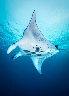 manta ray von Roland Sax