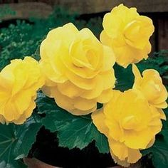 Double Yellow Begonia Flower Seeds/Tuberosa/Annual    20+ by MyFlowerGrounds on Etsy