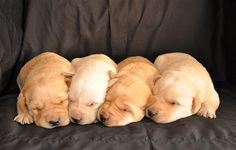 I put a deposit down on a male yellow lab puppy from a certified breeder 2 weeks ago. These puppies were born on January 13th. I get first pick out of the litter. Will pick one of them up on March 6th. Can't wait :) They are sooo cute! I want them al Our photo blog: http://divinumphoto.com