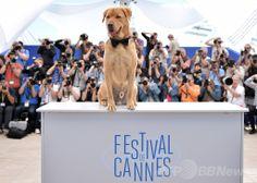 第67回カンヌ国際映画祭(Cannes Film Festival)で、「ある視点」部門出品作『Feher Isten』のフォトコールに登場した出演犬のボディ(Body、2014年5月17日撮影)。(c)AFP/BERTRAND LANGLOIS ▼25May2014AFP|カンヌ映画祭のパルム・ドッグ賞、「兄弟」で受賞 http://www.afpbb.com/articles/-/3015840 #Cannes_Film_Festival_2014 #Feher_Isten