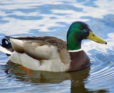 mallard duck :) tattoo inspiration Watercolor Bird, Watercolor Animals, Farm Animals, Animals And Pets, Canard Colvert, Duck Hunting Boat, Duck Drawing, Duck Pictures, Duck Art
