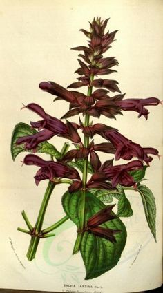 sage-00051 - salvia iantina [2110x3790] - craft supplies free 18th animalia Artscult picture lithographs pack flight printable animals beautiful ichthyology water ArtsCult nice royalty 17th engravings Graphic century collection Pictorial illustration high ArtsCult.com fish marine pages ornaments Paper naturalist pre-1923 1800s download vintage decoration 1700s old nature instant wall scan books river Edwardian scrapbooking fishing animal collage Victorian fabric commercial flying transfer…
