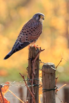 Sparrowhawk by manfredmuenzl Small Birds, Colorful Birds, Pet Birds, Raptor Bird Of Prey, Birds Of Prey, Water Animals, Animals And Pets, Wild Animals, Sparrowhawk