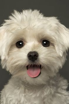 Close-up of a puppy panting, looking at the camera, isolated on a grey . - Wolfs & Dogs - Close-up of a puppy panting, looking at the camera, isolated on a grey background - Cute Baby Dogs, Cute Dogs And Puppies, Cute Baby Animals, Animals And Pets, Puppies Puppies, Doggies, Maltese Poodle, Maltese Dogs, Teacup Maltese Puppies