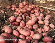 ЧЕМ ПОДКОРМИТЬ КАРТОШКУ. Farm Gardens, Beans, Potatoes, Vegetables, Sad, Gardening, Youtube, Photos, Vegetable Recipes