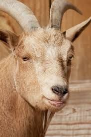 funny goat pictures cute