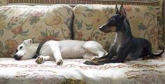 Izi & Youkie  #JackRussellTerrier #EnglishToyTerrier #AnayaPhotography #Dogs