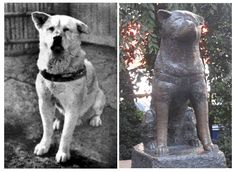 Hachiko, the most loyal dog ever!!!  Hachiko would meet his master at the train station everyday to walk him home from work.  When his master sadly died at work one day and never returned home, Hachiko continued to go to the train station everyday and wait for his master for 9 years, until his own death.  Workers at the station loved and cared for him. A bronze statue now stands in his honor at the Shibuya Station in Tokyo.