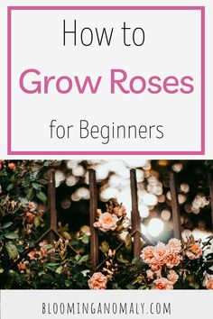 If you love roses, learn to grow your own in your garden. This guide for beginners and other gardeners will help you get started. Click on the pin to learn to grow roses today. #growroses #rosegarden #flowergarden #flowerbed Beautiful Flowers Garden, Amazing Flowers, Deck Design, Garden Design, Organic Gardening, Gardening Tips, Floribunda Roses, Above Ground Pool Decks, Rose Care