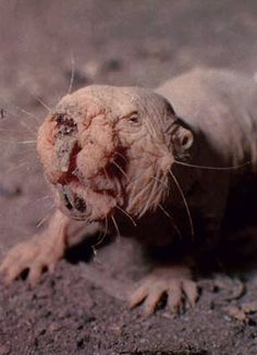 The Naked Mole Rat, is a burrowing rodent native to parts of East Africa. Typical individuals are 8–10 cm long and weigh 30–35 g. Their eyes are just narrow slits, and consequently their eyesight is poor.  Their large, protruding teeth are used to dig. Their lips are sealed just behind their teeth while digging to avoid filling their mouths with soil. Their legs are thin and short. They have little hair (hence the common name) and wrinkled pink or yellowish skin.