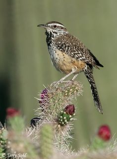The Cactus Wren - Campylorhynchus brunneicapillus, is a species of wren that is native to the southwestern United States southwards to central Mexico. Photo By Terry Sohl.