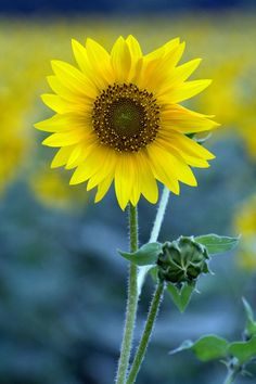 Image result for images of sunflowers