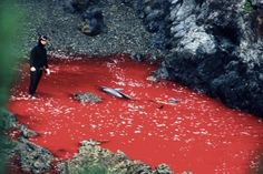 Dolphin slaughter in Japan--IT MUST BE STOPPED!!!!