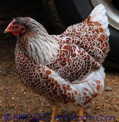 Natural Chicken Keeping: Blue Laced Red Wyandottes                                                                                                                                                                                 Mais