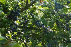 Earliblue: 30 jaar op plantage   O-bio