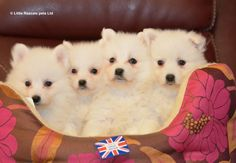 Fluffy Japanese Spitz puppies - Pedigree Puppies For Sale