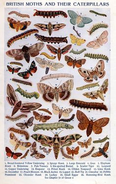 British Moths and their Caterpillars. Arthur Mee ed., The Children's Encyclopedia, (London: The Educational Book Company, circa Butterfly Kids, Butterfly Painting, Butterfly Illustration, Illustration Art, Book Illustrations, Uk Moths, Bee Identification, Butterfly Species, British Wildlife