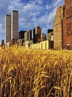 battery park, lower manhattan, 1982    artist agnes dene organized the plantation and harvesting of two acres of wheat on a battery park landfill site, two blocks from wall street.
