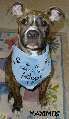 ADOPTED! Tag# 9225 Name is Maximus Pit Bull Terrier Mix Male-not neutered Approx. 5 months old (still has puppy teeth) Just a doll face!   Located at 2396 W Genesee Street, Lapeer, Mi. For more information please call 810-667-0236. Adoption hrs M-F 9:30-12:00 & 12:30-4:15, Weds 9:30-12:00 & Sat 9:00-2:00  https://www.facebook.com/267166810020812/photos/a.827654637305357.1073742145.267166810020812/827656343971853/?type=3&theater