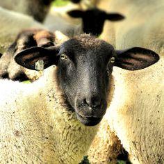 The Royal Sheep - Rhönschaf - http://www.1pic4u.com/2014/05/15/the-royal-sheep-rhoenschaf/