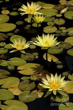 water lily ponds | Water Lily Pond Photograph - Water Lily Pond Fine Art Print