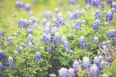 Bluebonnets...reminds me of Texas