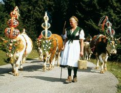 "GERMANY'S  MOUNTAIN  CATTLE  DRIVES,  THE  ALMABTRIEB http://www.bellaonline.com/articles/art178437.asp  Mountain cattle drives, the ""Almabtrieb"", have had a permanent place in Bavarian farming life for centuries, and in many villages the last golden days of summer and early autumn see processions of decorated cows creating their own cow bell symphony as they come down from their summer pastures, high up on the mountains, and make their way to winter quarters."