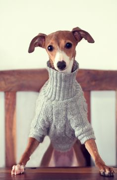 too cute dog with sweater