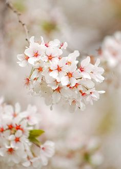 Cherry Blossom always remember the cherry blossoms in the moonlight carter first born
