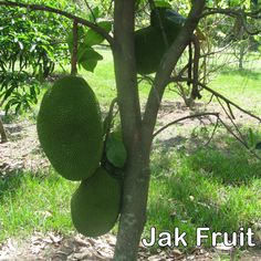 A Young Jack Fruit Tree With Multiple Fruits The Largest One Curly Weighing About 25 Pounds