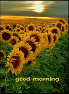 Out of several beautiful flowers, today we have picked some beautiful sunflower pictures for you. This flower is named as sunflower because it looks like sun… Pretty Flowers, Yellow Flowers, Happy Flowers, Red Sunflowers, Summer Flowers, Planting Sunflowers, Colorful Roses, Send Flowers, Blooming Flowers
