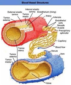 Blood vessel structures