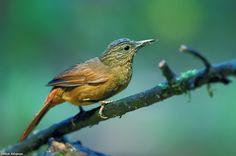 Streak-capped Treehunter(Thripadectes virgaticeps)